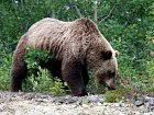 medved hnedy - grizzly